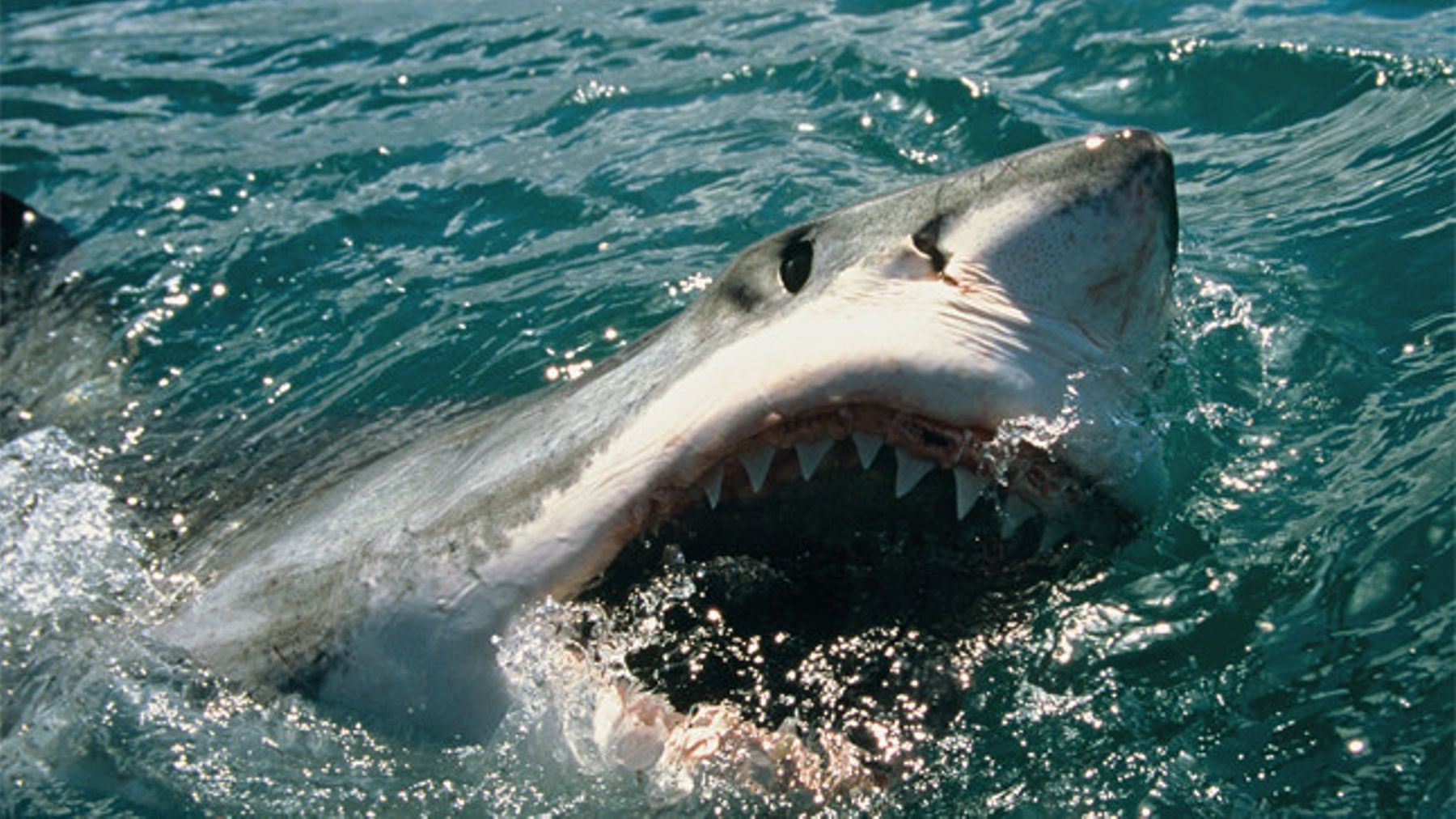 VIDEO: Swimmer survives 7ft great white shark attack – by