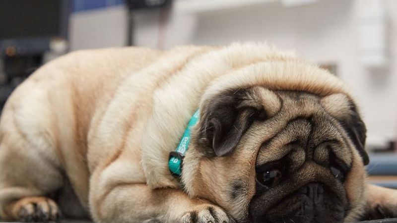 Podgy pug picked for pet slimming competition