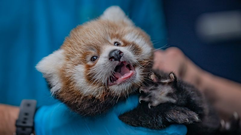 Endangered red panda twins born at Chester Zoo