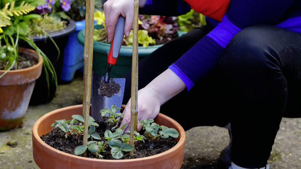 How To Grow Strawberries In Small Spaces Garden News